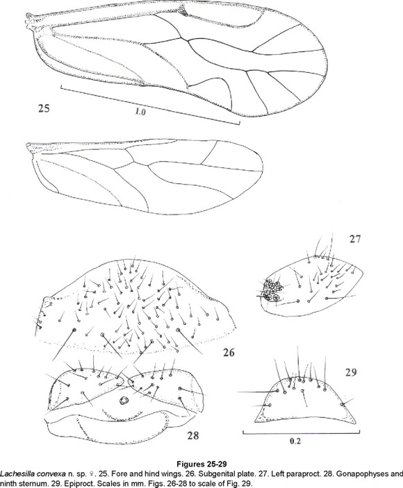 New South American Lachesilla In The Group Forcepeta Psocoptera